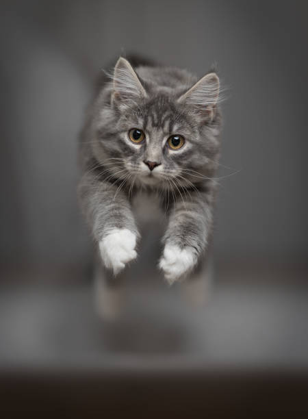 Jumping cat picture id1140349657?b=1&k=6&m=1140349657&s=612x612&w=0&h=vntljyrz yp dfbaqf4pv5vlxfzl31gzmygtrwbjuem=