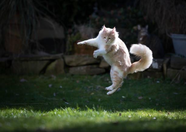 Jumping cat picture id1145620172?b=1&k=6&m=1145620172&s=612x612&w=0&h=9elsvsvhzsle62eazcf5kdm7yg8axulzpznx vgay0u=