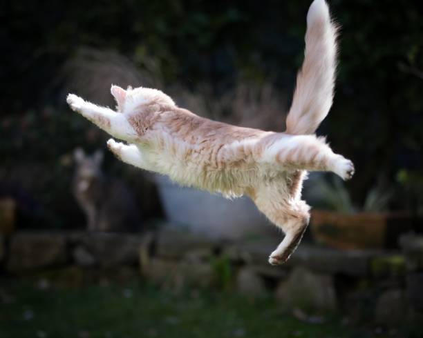 Jumping cat picture id1145620206?b=1&k=6&m=1145620206&s=612x612&w=0&h=618m78dbheweyhejzas50ml6sab 46xuqr5ccw7t0ry=