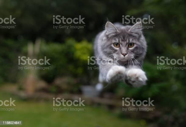 Jumping cat picture id1158024641?b=1&k=6&m=1158024641&s=612x612&h=j6hwb xjcd44k3oksrpy4v0yf5lz6r5wl63hw3fhs5s=
