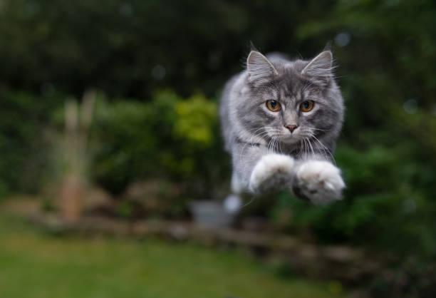 Jumping cat picture id1158024641?b=1&k=6&m=1158024641&s=612x612&w=0&h=iov rm2mofpkffssknjanlm5tjugcgaq6fpwjfm p24=