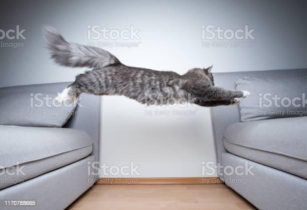 Jumping cat picture id1170788665?b=1&k=6&m=1170788665&s=612x612&h=jdbm0efzjmoq63dm55janvjst427tsamibafxug xqe=