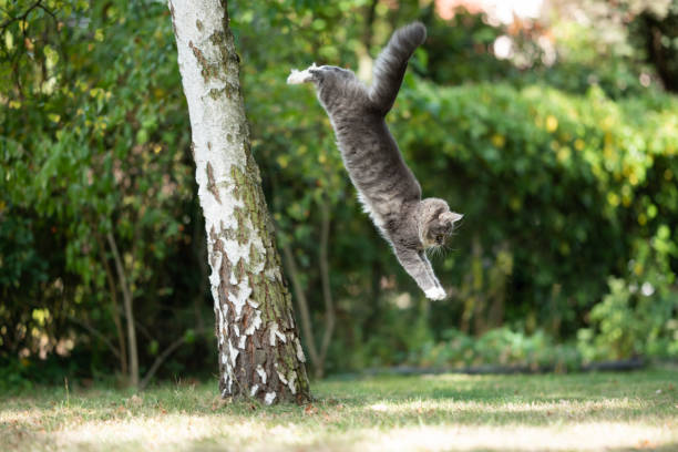Jumping cat picture id1177684674?b=1&k=6&m=1177684674&s=612x612&w=0&h=f898xk ql0546owlbanplwlh46skdegez2bp nst 5u=