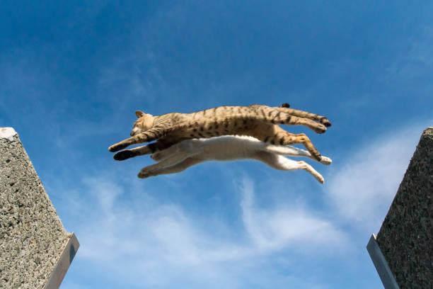Jumping cats picture id1127105007?b=1&k=6&m=1127105007&s=612x612&w=0&h=om7h  vjlfgyx4aoaqysfcjjkshigfho yndnf6vzu4=