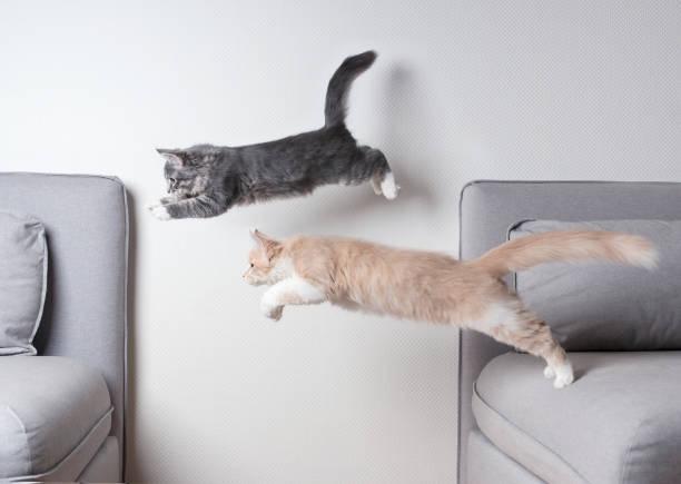 hoppning katter - katt inomhus bildbanksfoton och bilder