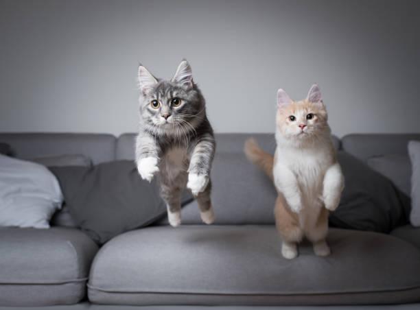Jumping cats picture id1140349105?b=1&k=6&m=1140349105&s=612x612&w=0&h=yyfwbhemrmleuwg3mdmfy9o4oy9y9mwb6yxbj1tqpeu=