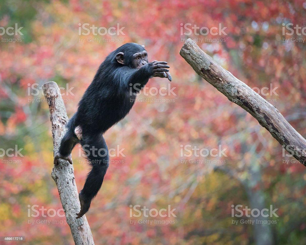 Jumping Chimp stock photo