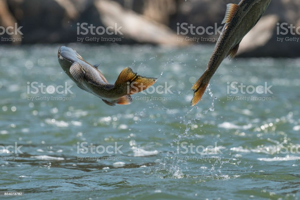 Jumping Chinook Salmon stock photo