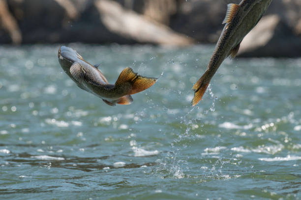 jumping chinook salmon - chinook salmon stock photos and pictures