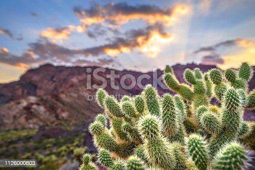 Cholla cactus on desert mountain in Nevada