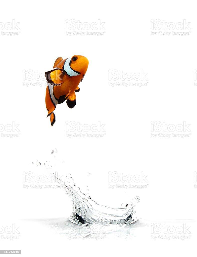 Jumping Clownfish stock photo