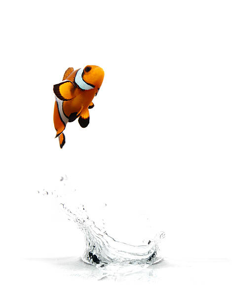 Jumping Clownfish A clownfish jumping out of the water. anemonefish stock pictures, royalty-free photos & images