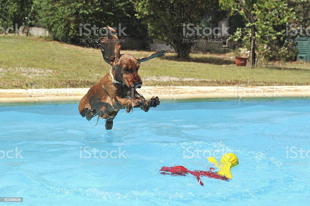 jumping cocker spaniel stock photo
