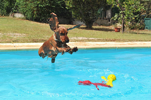 saltar cocker spaniel - jump pool, swimmer imagens e fotografias de stock