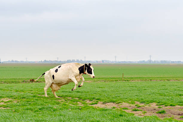 Saltare mucca nel prato - foto stock