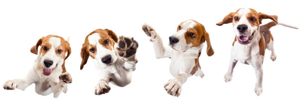 Jumping dog isolated on a white background picture id925737064?b=1&k=6&m=925737064&s=612x612&w=0&h=nsb2owskjlt7kmgrfkuix2itcpohs6xyh3vorclcab8=
