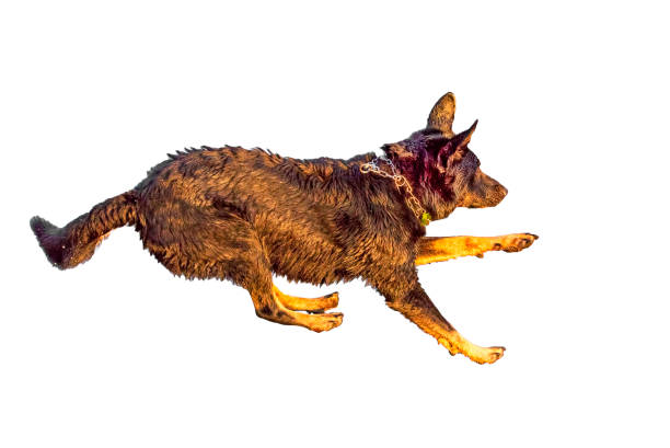 Jumping dog isolated on white background picture id954169450?b=1&k=6&m=954169450&s=612x612&w=0&h=vnkda gltcqwdbke4wfcxurs1exaszxot0xisvrr5c4=