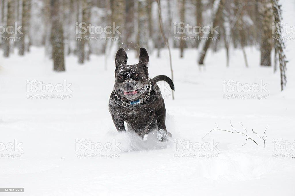jumping dog Neapolitan Mastiff stock photo