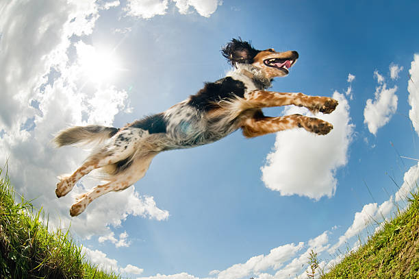 jumping dog                                  (© lobke peers) - dog jumping stock photos and pictures