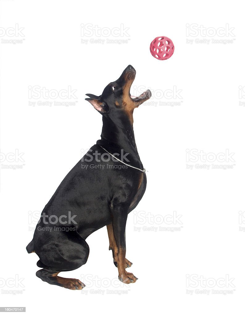 Jumping dog royalty-free stock photo