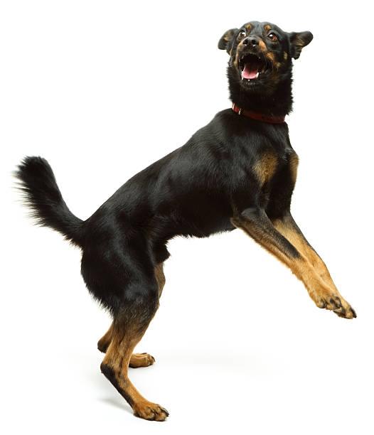 Jumping dog picture id450585893?b=1&k=6&m=450585893&s=612x612&w=0&h=zqtfpluphnqckzah52grb2hlorgbfmg5yybffwssacw=