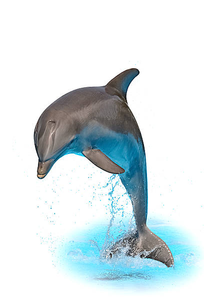 Jumping dolphin isolated on white background Jumping dolphin isolated on white background with water and spray cetacea stock pictures, royalty-free photos & images