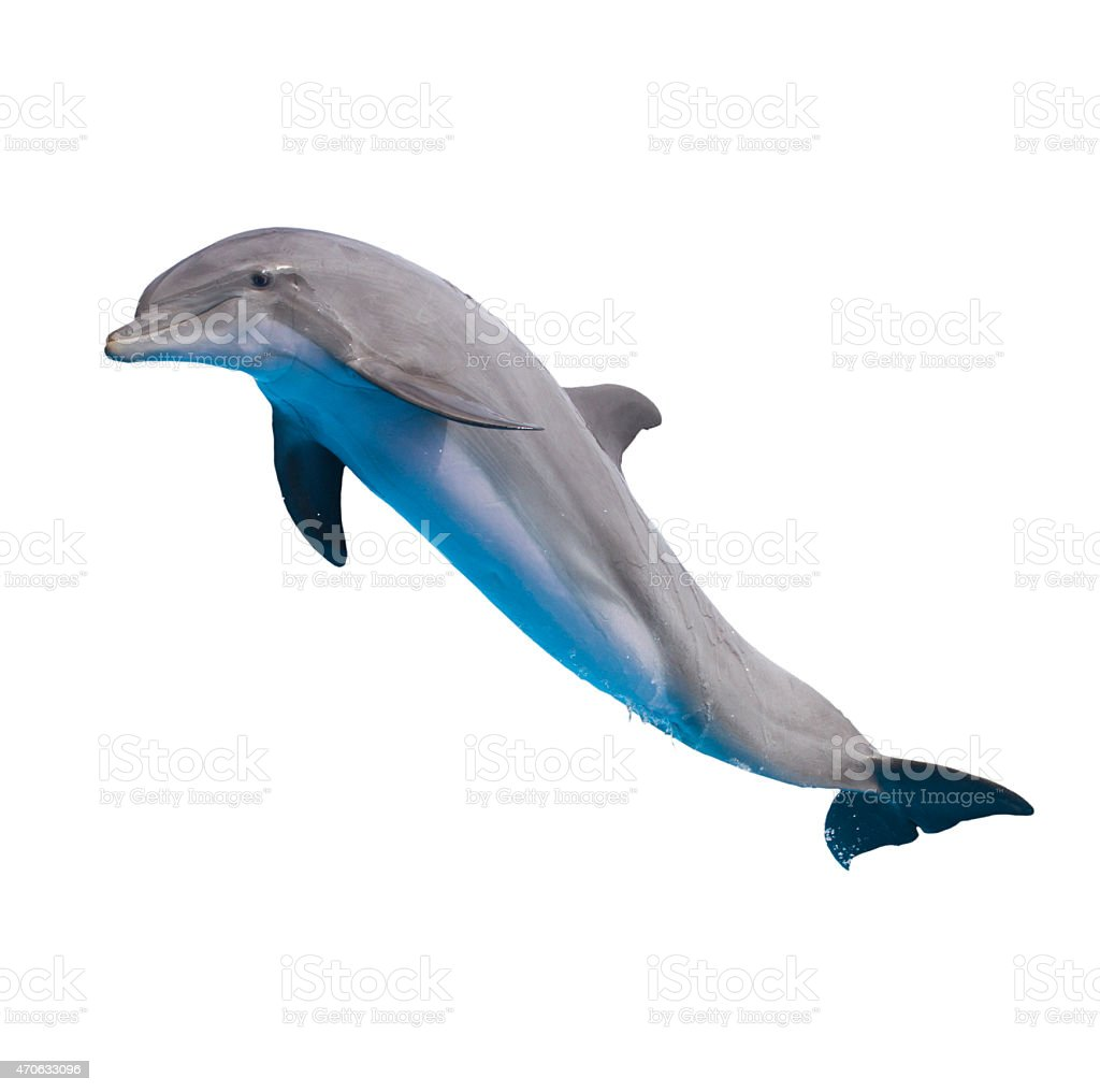 jumping dolphin on white stock photo