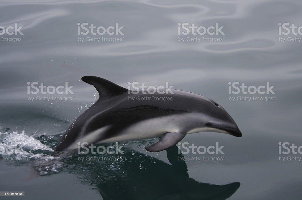 Jumping Dolphin stock photo