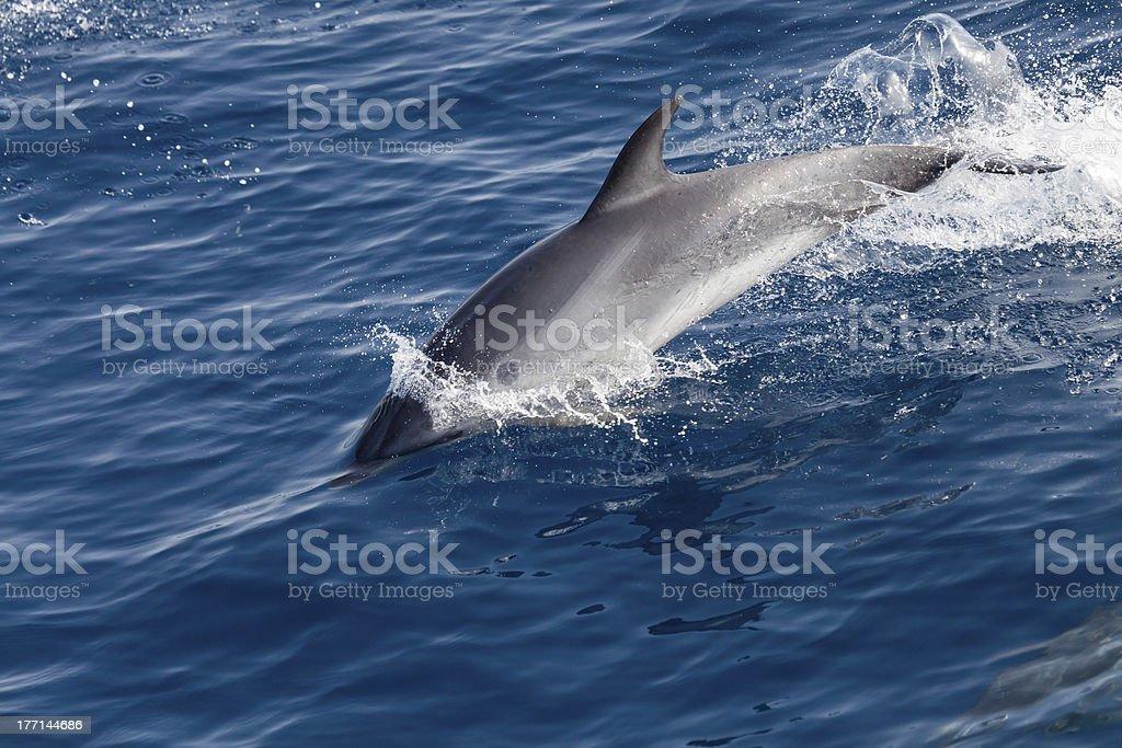 Jumping dolphin royalty-free stock photo