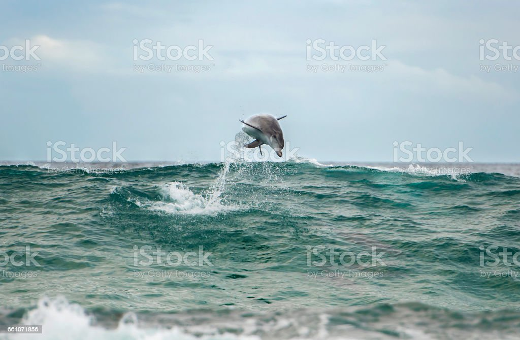 Jumping dolphin stock photo