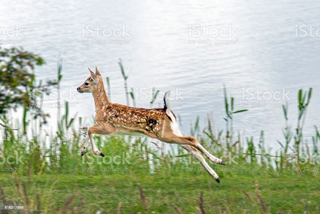 Jumping fallow deer calf stock photo