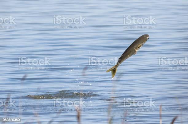 Foto de Peixe A Saltar Para O Mar e mais fotos de stock de 2015