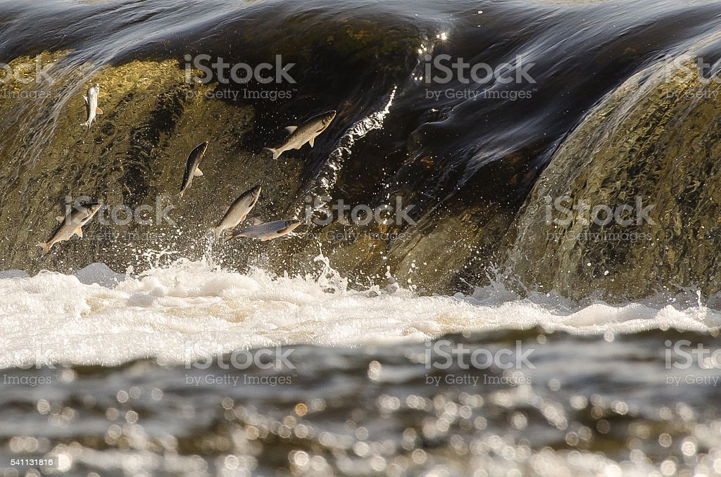 Jumping fishes stock photo