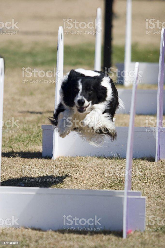 Jumping Flyball Hurdle stock photo