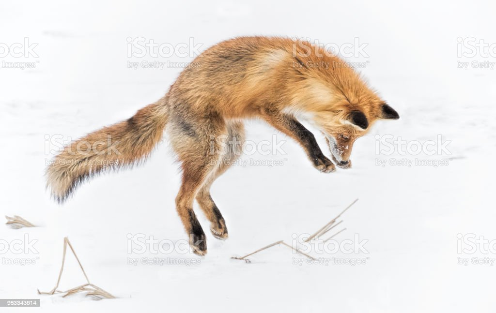Jumping Fox stock photo