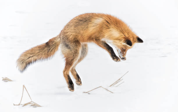 jumping fox - fox stock photos and pictures