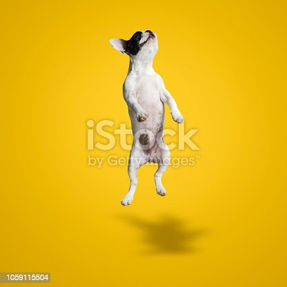 Jumping French Bulldog Puppy Over Yellow Background, Studio shot