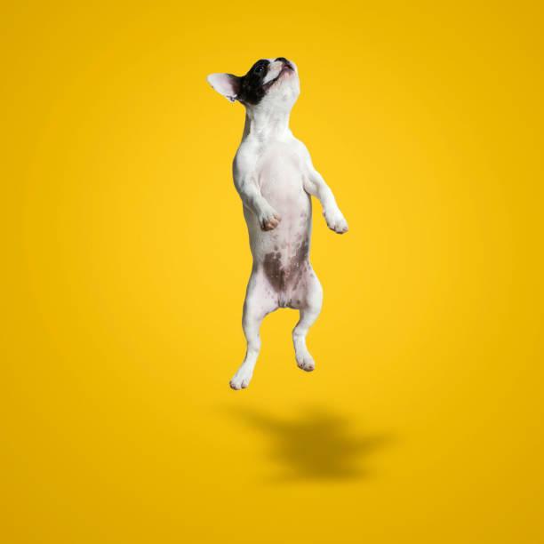 Jumping french bulldog puppy picture id1059115504?b=1&k=6&m=1059115504&s=612x612&w=0&h=fagytipc27rh eenkklpg8ujck5 mknoiuypwg9t mu=