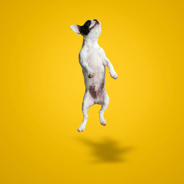 jumping french bulldog puppy - dog jumping stock photos and pictures