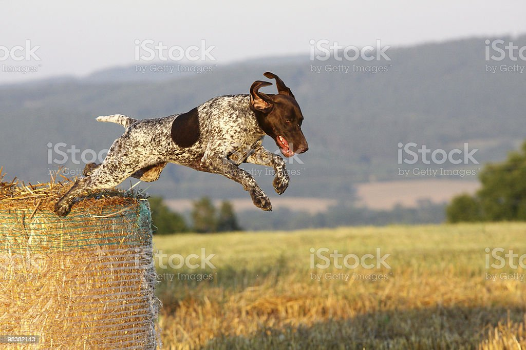 Jumping German shorthaired pointer royalty-free stock photo