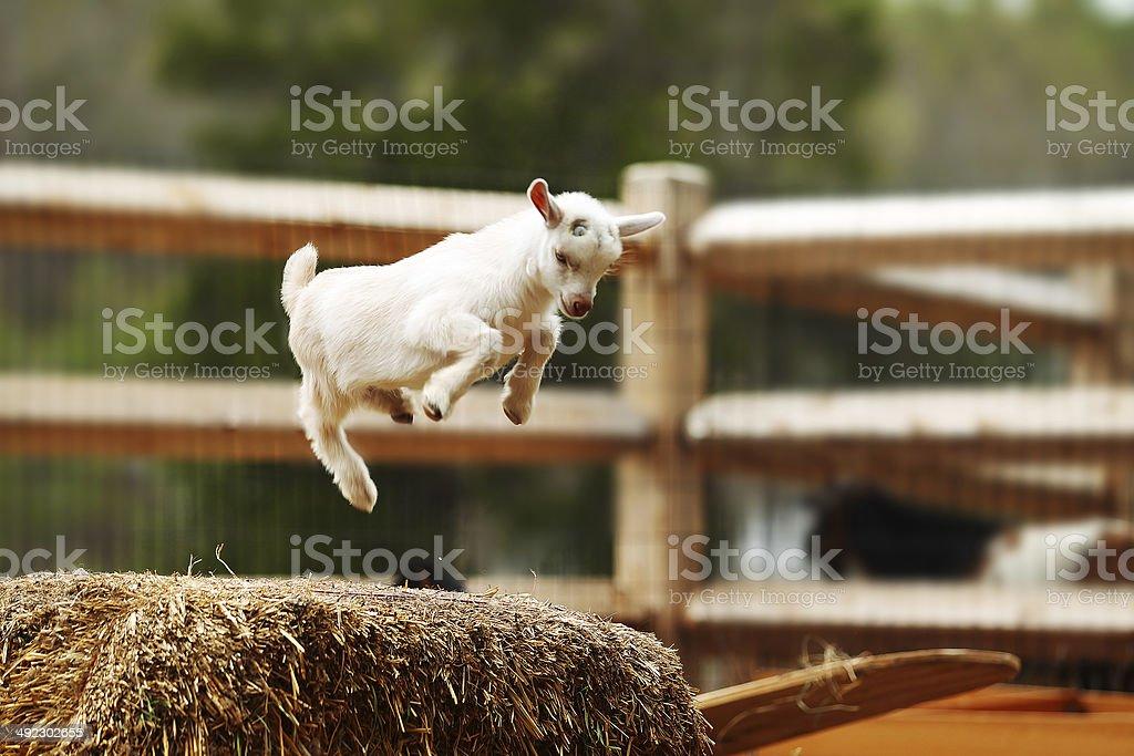 Saltar de cabra - foto de acervo