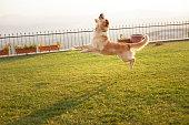 Golden retriever dog jumping on green grass