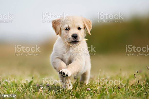 Jumping golden retriever puppy picture id465377790?b=1&k=6&m=465377790&s=612x612&h=ypgypm7ba7poudrdciwlivaax8ti1eo9zuh811pdlzm=