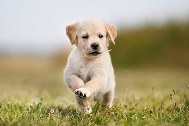 Jumping golden retriever puppy picture id465377790?b=1&k=6&m=465377790&s=612x612&w=0&h=j2tcmaxjqod96hqzknbodvrvtukawftgqpeifrgqrqk=