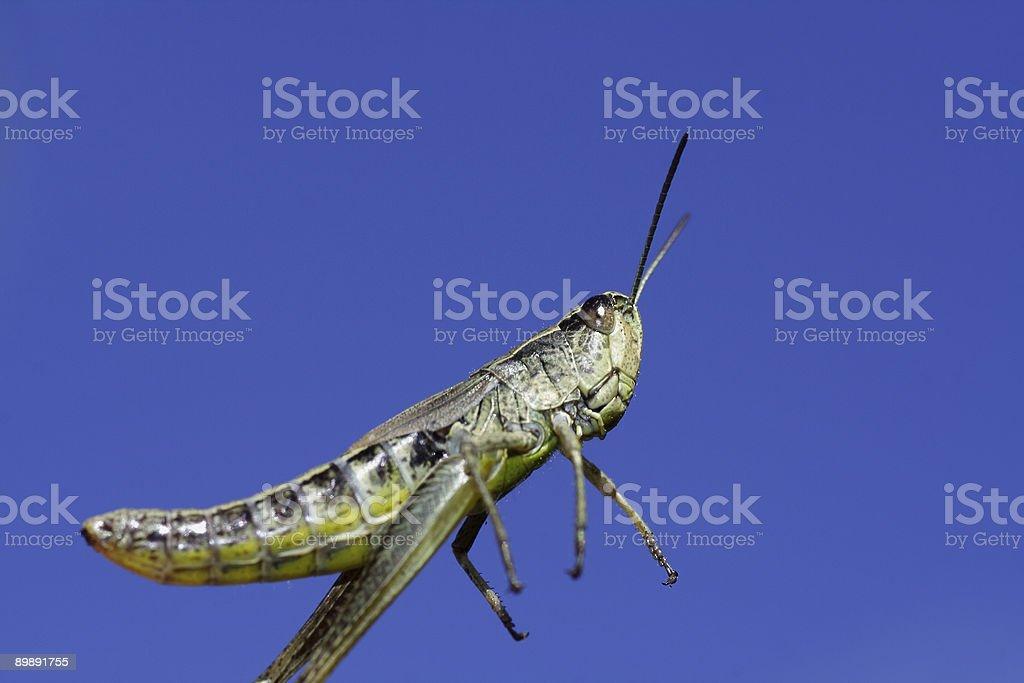 Jumping grasshopper stock photo