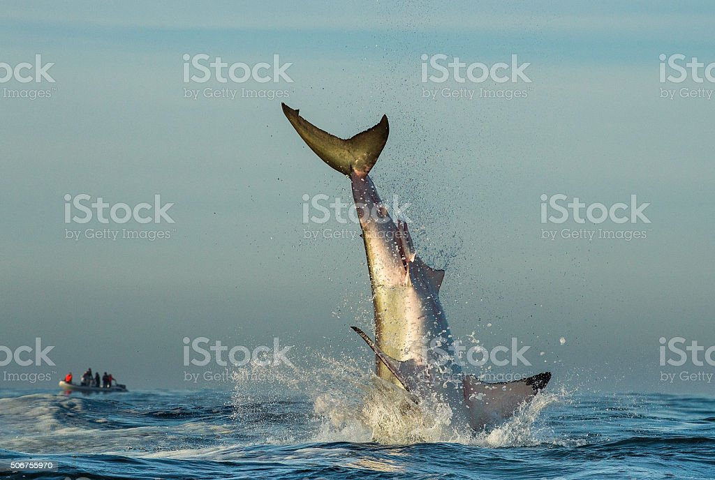 Jumping Great White Shark. stock photo