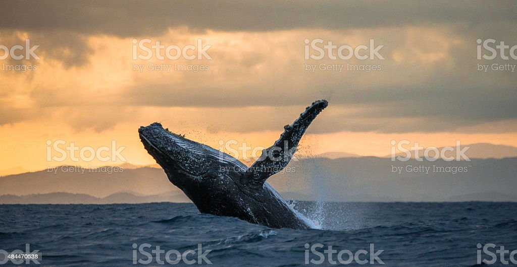Jumping humpback whale at sunset. Madagascar. stock photo