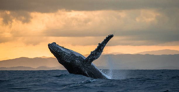 jumping humpback whale at sunset. madagascar. - 印度洋 個照片及圖片檔