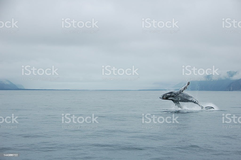Jumping humpback whale stock photo