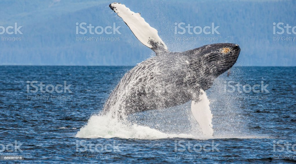 Jumping humpback whale. stock photo